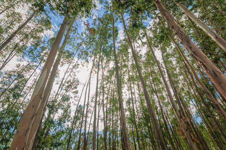 eucalyptus tree: Eucalyptus tree against sky