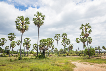 cambodian palm:
