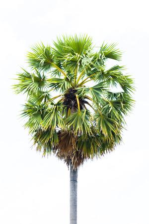 cambodian palm: Palme da zucchero Borassus flabellifer Asian Palmyra palma, Toddy di palma, zucchero di palma, o di palma cambogiana, sul campo di riso albero tropicale a Phetchaburi, Thailandia