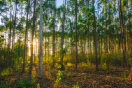 blur effect: Blur effect of the eucalyptus many high into the sky in elevation clear dimly bright and sunny Stock Photo