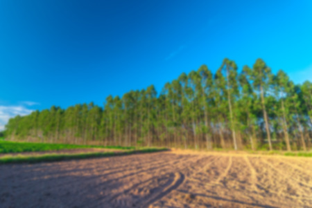 dimly: Blur effect of the eucalyptus many high into the sky in elevation clear dimly bright and sunny Stock Photo