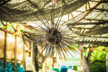Sea urchins in Thailand. Caught up by divers for details and movements of the sea urchins. Stock Photo
