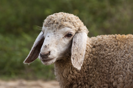 Portrait of a brown sheep against blurry background  photo