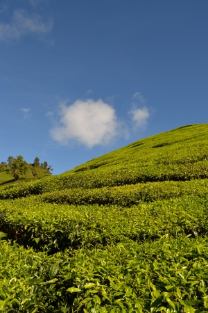 tea hill, cameron highland, malaysia photo