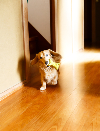 Longhair dachshund on a wooden floor Stock Photo - 93709751