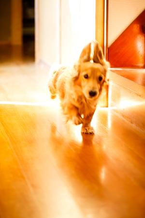 Longhair dachshund on a wooden floor.