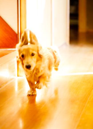 Longhair dachshund on a wooden floor. Stock Photo - 93634968