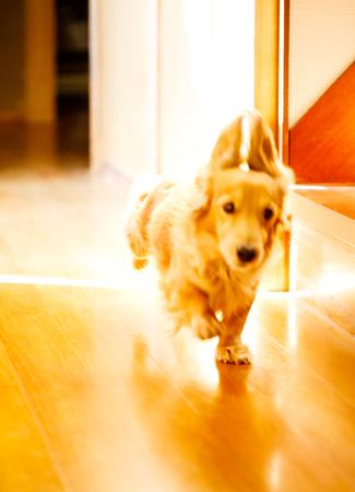 Longhair dachshund on a wooden floor. Stock Photo - 93547840