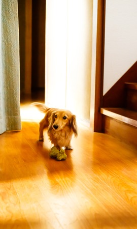 Longhair dachshund on a wooden floor Stock Photo - 93557151