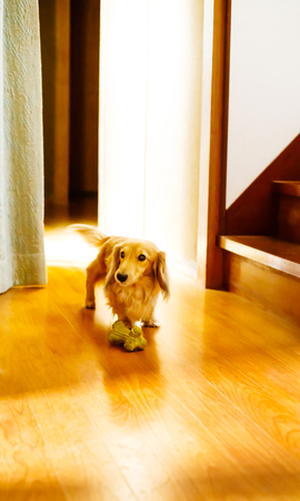 Longhair dachshund on a wooden floor Stock Photo - 93709175