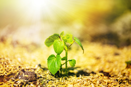 The shining seedling is growing from the rich soil to the sunlight.Image of the life.close up.