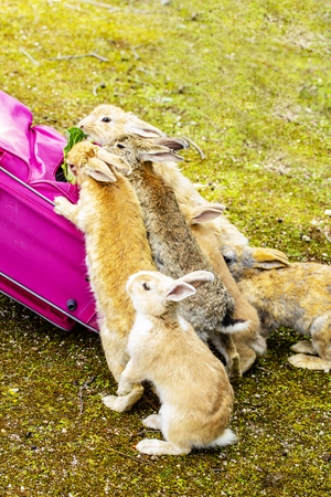Many rabbits gather around the pink suitcase.rabbit eats the cabbage in the suitcase Stock Photo