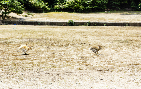 Two brown rabbits run with blistering speed at the ground