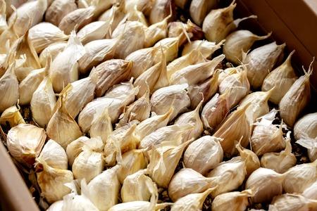 White garlic pile texture. Lots of common fresh garlic closeup photo. white garlic heads on display.
