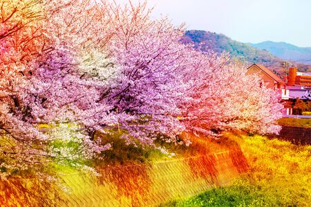 Pink ,yellow , red and purple of cherry blossom sakura over sky.colorful cherry blossom in full bloom. and stone wall. Stock Photo