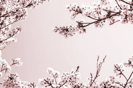 Marco de la hermosa flor de cerezo. Flor de cerezo en plena floración. el espacio es hermoso cielo expresado con color blanco y marrón.