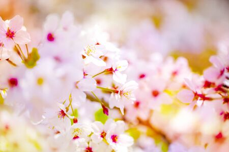 Pink ,yellow , red and purple of close-ups in full blossom in full glory beautifully colorful cherry tree.cherry blossom sakura.