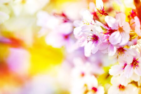 Pink ,yellow , red and purple of close-ups in full blossom in full glory beautifully colorful cherry tree.cherry blossom sakura. Stock Photo