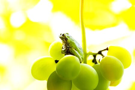 A frog on a grape. The frog looks towards light on yellowish green color background.close up. Stock fotó