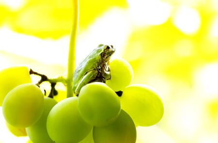 A frog to ride on a grape. The frog looks towards light on yellowish green color background.close up.