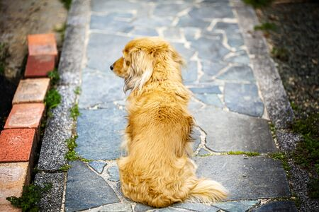 The dog is sitting and waiting for his master. but he look away. him distracted by something.Dog of the back figure. and on a pavement with stone. Stock Photo