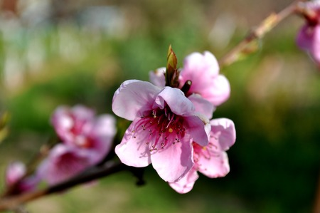 Blooming peach flowers close-up Stock Photo
