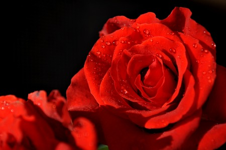 Red roses with dew close-up