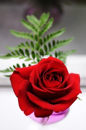 Red rose in a vase close up