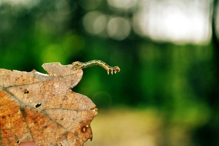 Jumping caterpillar close-up