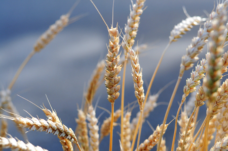 organics: Wheat ears Stock Photo