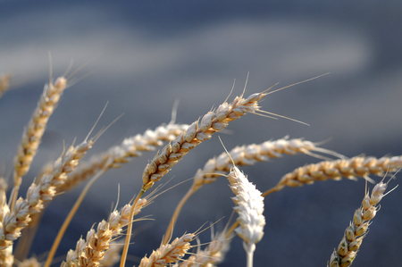 organics: Wheat ears close up