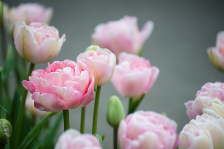 Pink fully bloomed tulips peonies close up, depth of field,
