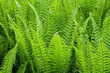 Light green fern bush fill background, fractal leaves in rain forest Stock Photo