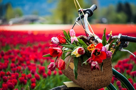 Bicycle with weaved basket and tulip flowers in it on a tulip field background, closeup Stock Photo