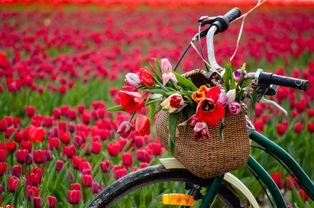 Bicycle with weaved basket and tulip flowers in it on a tulip field background, closeup Standard-Bild