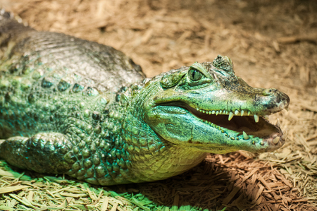 Green crocodile, with open jaws, closeup in the zoo terrarium