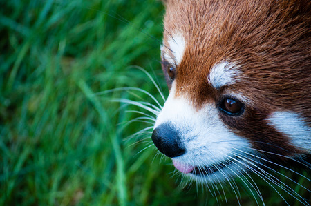 Red panda close up face in the zoo, with sticking out tongue, green background