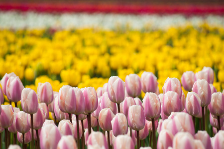 Field of close up pink tulip buds with depth of field yellow and red background, spring tulip festival Abbotsford, Canada Stock Photo