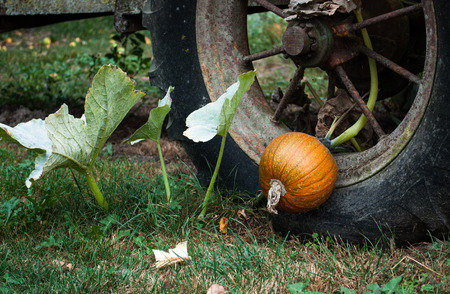 Old tractor wheel with pumpkin growing through it