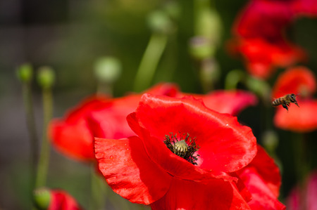 Poppy close up with a bee collecting pollen.