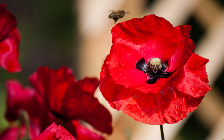 Poppy close up with bee landing on a flower Stock Photo