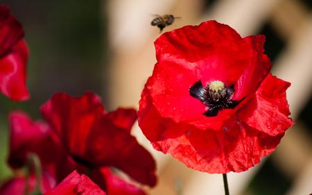 Poppy close up with bee landing on a flower Standard-Bild
