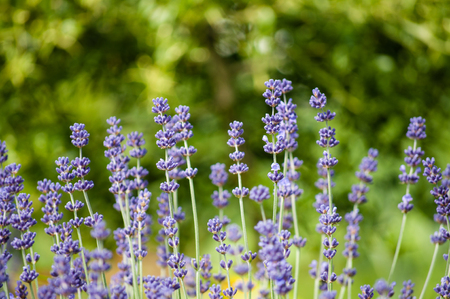 Lavender flowers close up field with green background