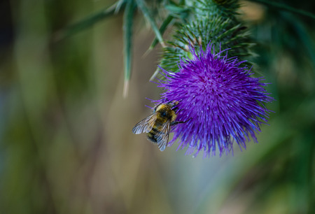 Blooming thistle flower with bee collecting pollen