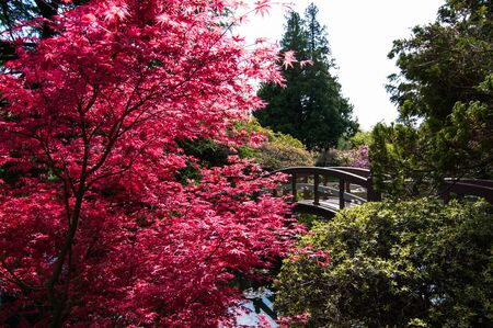Japanese red maple next to a bridge in the Japanese garden at Hatley castle park, Canada Standard-Bild