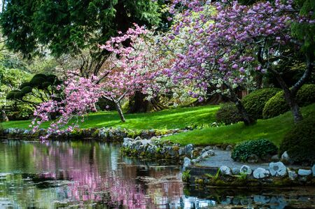 Blooming cherry tree, sakura next to a pond at  Hatley Park National Historic Site, Victoria Canada