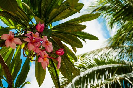 Palm tree and Mexican pink blooming plumeria flowers, view from below, Caribbean shore of Mexico
