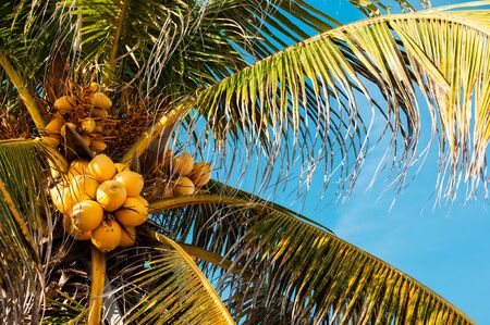 Top of the palm tree with yellow coconuts close up, against blue sky on a sunny day, negative space