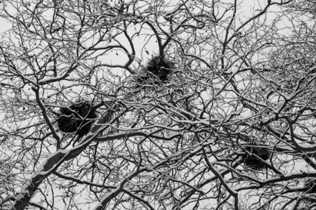 Empty heron's nests on snow covered trees during heavy winter snow fall in Stanley Park, Vancouver,