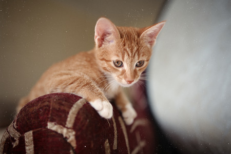 Ginger kitten iready for jumping, Cat sit on the arm of the chair. Orange cat fur. Light brown eyes. Stock Photo
